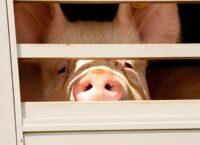 'Dierenwelzijn blinde vlek bij maatschappelijk verantwoord ondernemen'